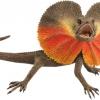 frill-necked-lizard_1