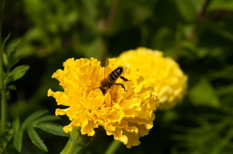 пчелка на цветке