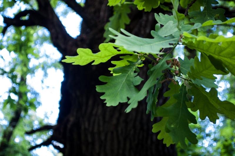 лето дубовые листья