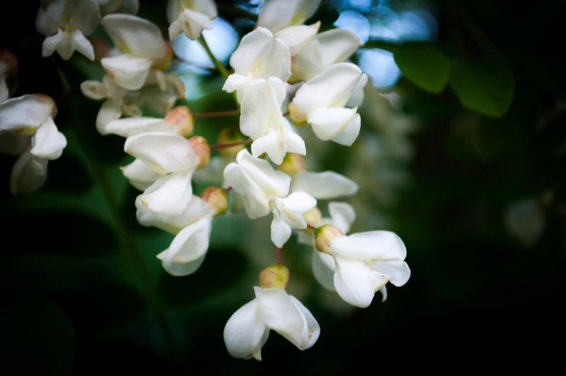 лето цветы акация