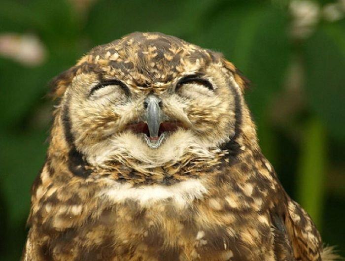смех совы