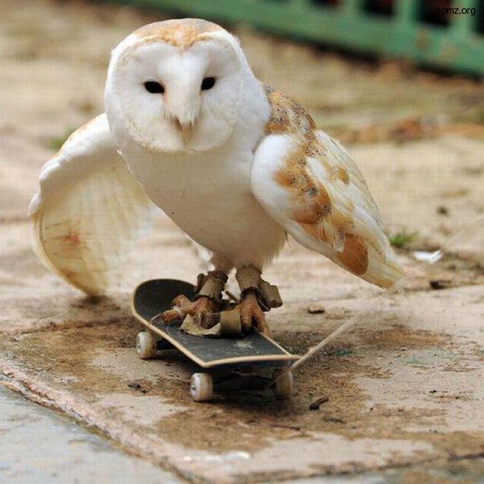 сова на скейте