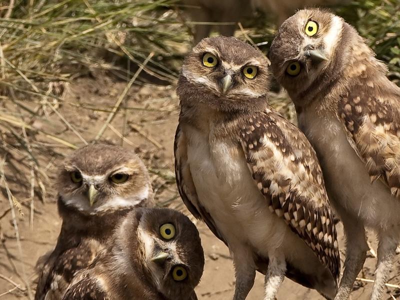 потешные совы