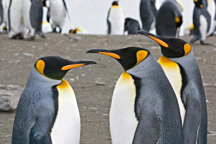 пингвины, похожие на чиновников