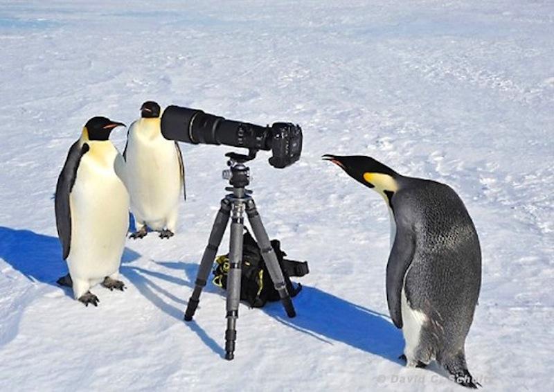 пингвины - фотографы
