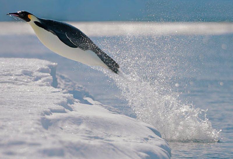 летающий пингвин