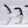 пингвины на льду