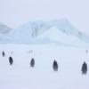 пингвины в снежной буре