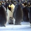 пингвины - как люди - любят собираться вместе
