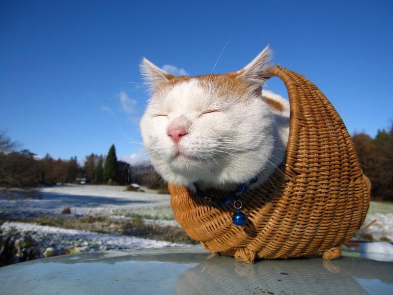 кот Широнеко